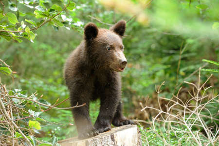bear cub: Brown bear cub in a forest Stock Photo