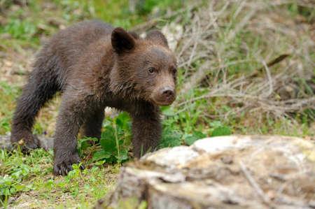 ourson: Brown ourson dans une forêt