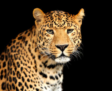 leopard: Leopard Stock Photo