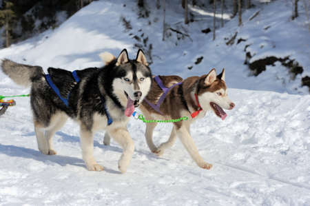 sled dogs: A team of Siberian sled dogs pulling a sled through the winter forest