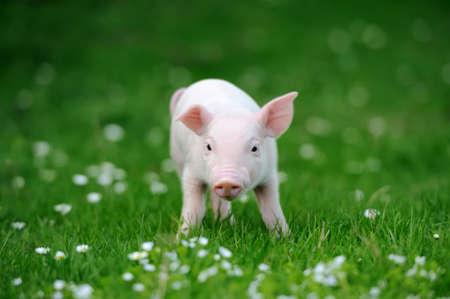 봄 그린 잔디에서 젊은 돼지