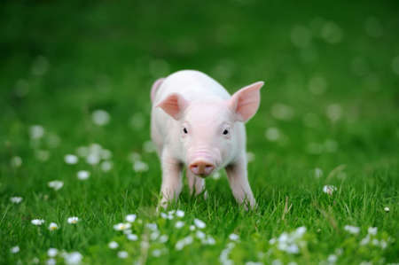Young pig in a spring green grass Banco de Imagens