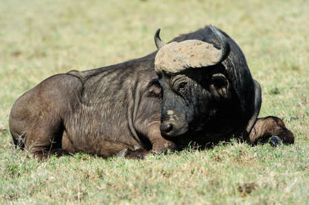 Buffalo in the National Reserve of Africa, Kenya Stock Photo