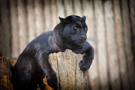catlike: Portrait of Black leopard on fresh air