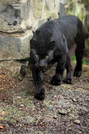 Black Leopard Standard-Bild - 39734581