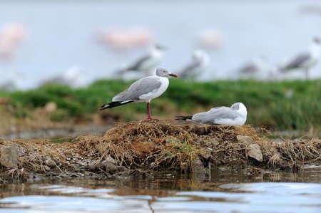 larus: Grey-Headed Gulls (Larus cirrocephalus) standing on the shore Stock Photo