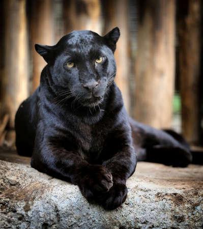 catlike: Black leopard