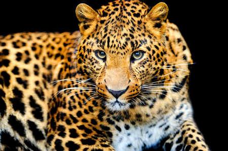 Léopard sauvage colère sur fond noir Banque d'images