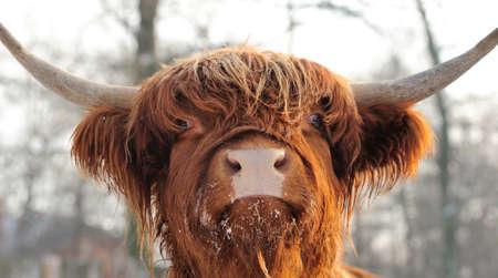 cow pasture: Close-up beautiful portrait scottish cattle Stock Photo