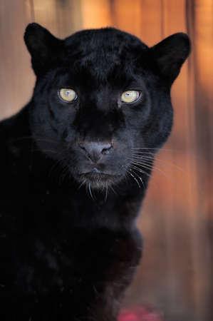 ojos negros: Close-up retrato hermoso leopardo negro