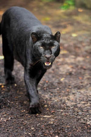 Black Leopard Standard-Bild - 39960128