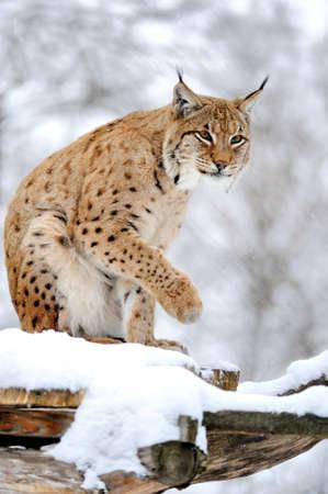 lince: Lince salvaje hermosa en invierno Foto de archivo