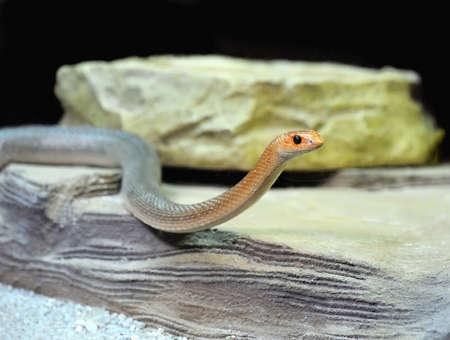 orange snake: Young orange snake on a stone