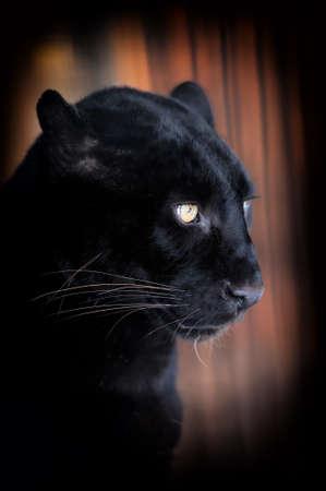 austere: Close-up beautiful portrait black leopard