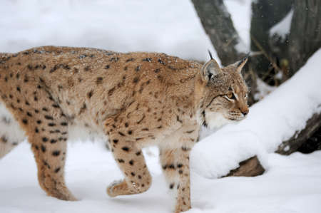 winter time: Beautiful wild lynx in winter time Stock Photo