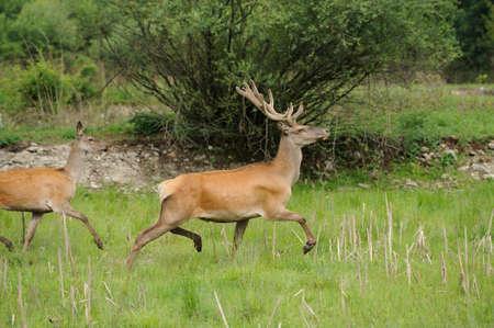 elaphus: Wild red deer in nature Stock Photo