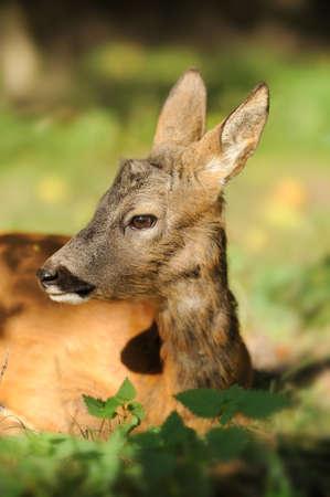 baby deer: Young deer Stock Photo