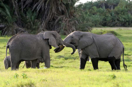 Elephant in the National Reserve of Africa, Kenya Stock Photo