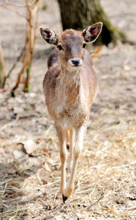 dank: Closeup young deer on forest