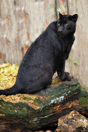 Nero leopardo Archivio Fotografico - 40038406