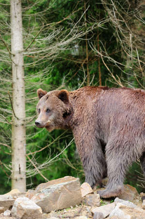 nordic nature: Brown bear in forest after rain Stock Photo