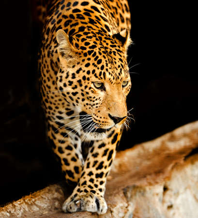 leopard: Young leopard on dark background