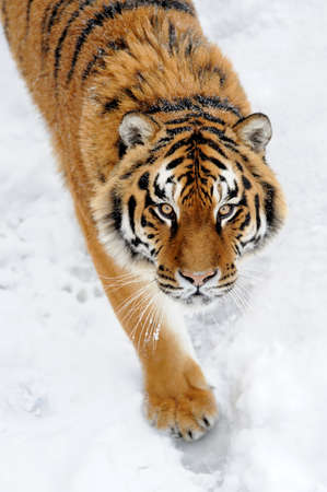 tiger stripe: Beautiful wild siberian tiger on snow Stock Photo