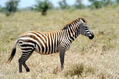 burchell: Zebra in the grasslands of the National Park. Africa, Kenya