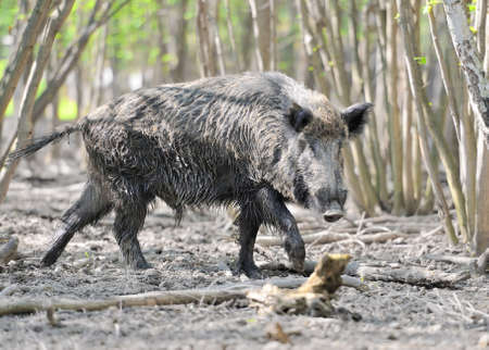 thicket: Wild boar in spring forest