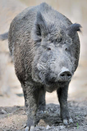 young pig: Wild boar in spring forest