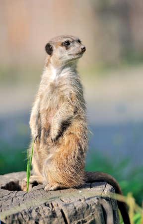Un suricate debout et en regardant alerte