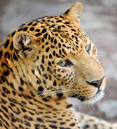 potrait: Leopard potrait
