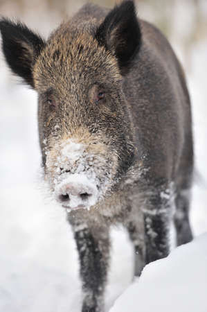omnivores: Wild boar in winter forest