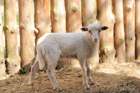 ovine: Young sheep in summer day Stock Photo