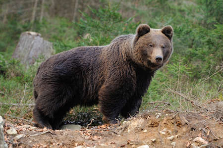 nordic nature: A brown bear in the forest