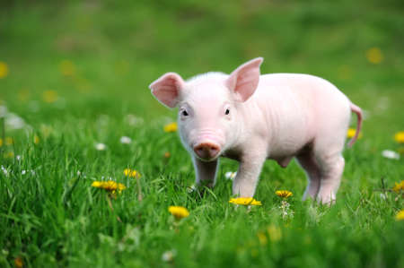 fat pigs: Young pig on a spring green grass