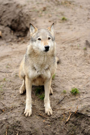 canis: Timber Wolf (Canis lupus)