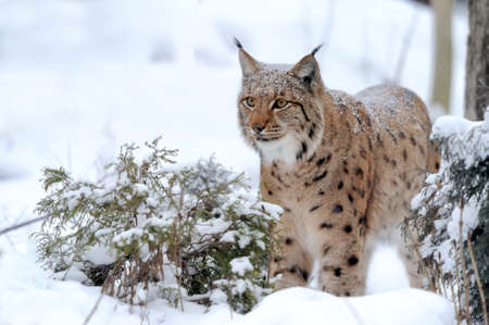 feral: Young lynx in winter forest