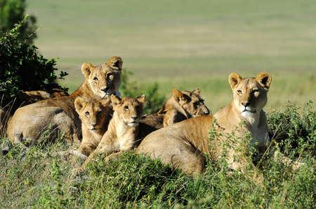 Belle Lion dans l'herbe du Masai Mara, au Kenya Banque d'images