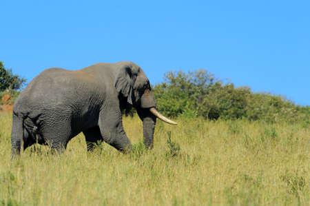 Elephant in the wild - national park Kenya, Africa