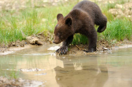 ourson: Brown bear cub in lake