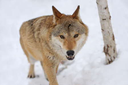canis lupus: Grey Wolf (Canis lupus) in winter time