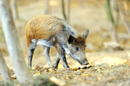 Yound wild boar in autumn forest photo
