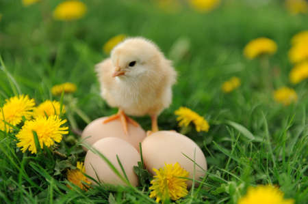 Little chicken and egg on the grass 스톡 콘텐츠