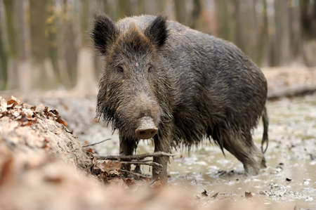formidable: Wild boar in wood. Boar in dirt