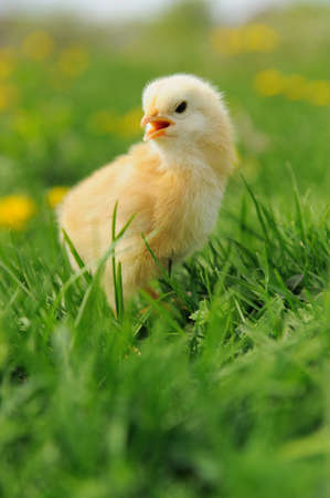 hatched: Little chicken and egg on the grass Stock Photo