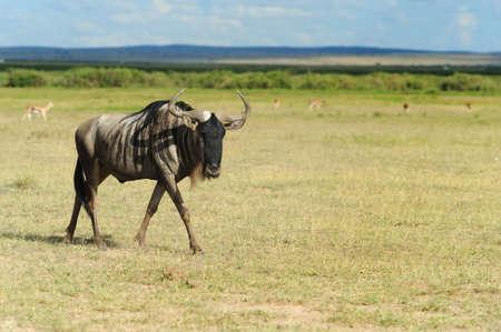 tanzania antelope: Wildebeest running on dusty plains ( Taurinus; connochaetes ) - South Africa