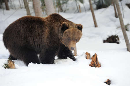 Bear in winter forest photo