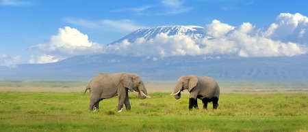 Elephant with Mount Kilimanjaro in the background 스톡 콘텐츠