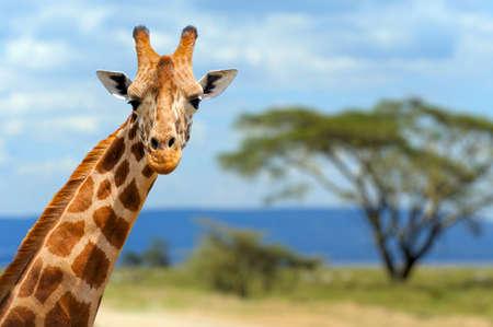 Jirafa en el parque nacional de Amboseli frente Kenia Foto de archivo - 40237653